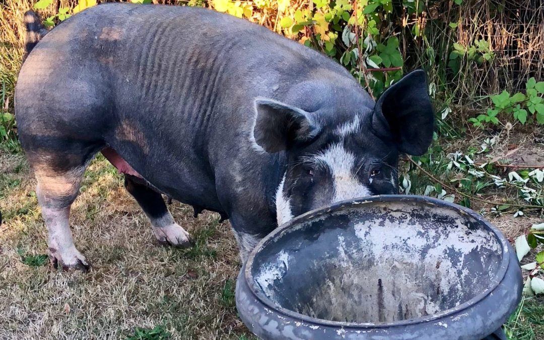 Making Time for Unexpected Visitors: Pig Alert!
