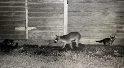 trail-cam-captures-foxes-at-night