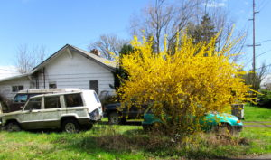 Forsythia-camouflages-eyesore.