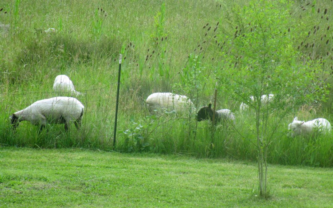 Grazing-sheep-peaceful feeling