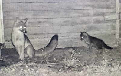 The Night Life: Foxes are Back!!!