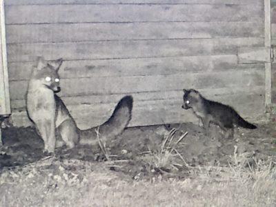 trail-cam-foxes